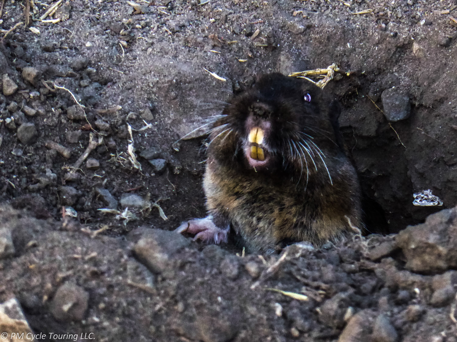 Small burrowing animal with giant teeth poking its head out of the ground.